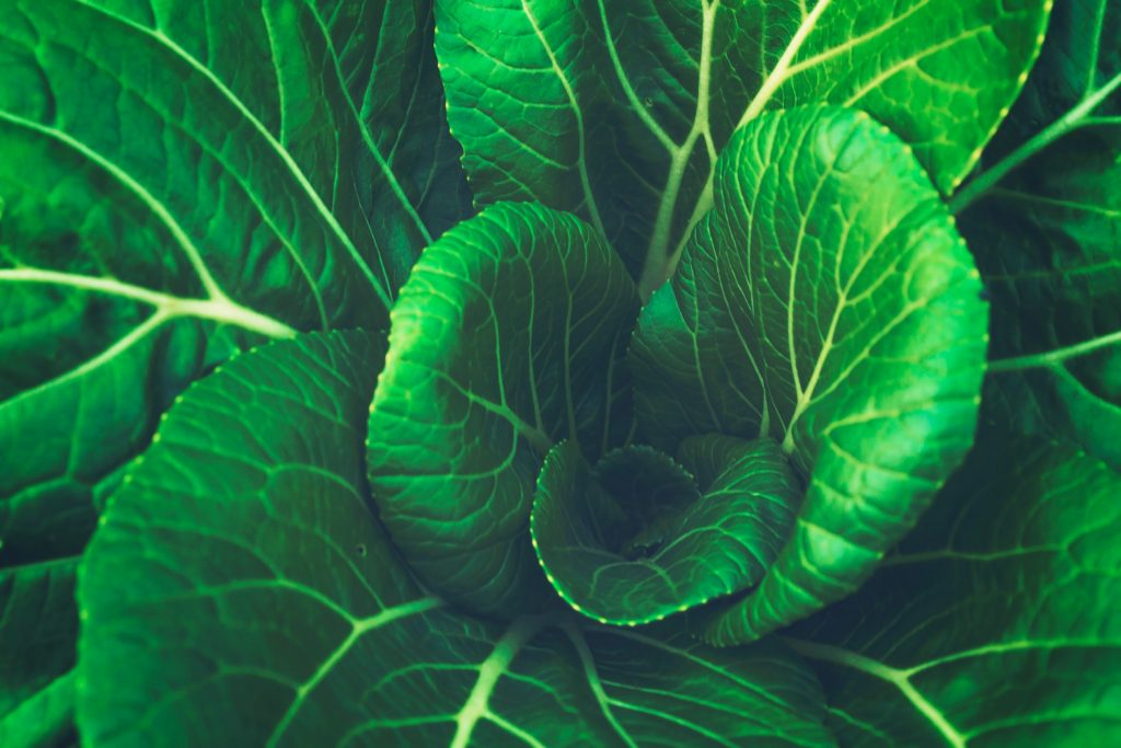 Green Lettuce leaves close up Monatomic Orme